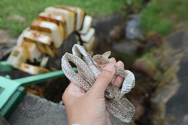 シマヘビの抜け殻