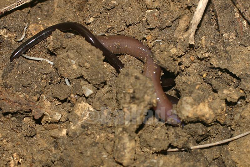 ブラーミニメクラヘビとミミズ