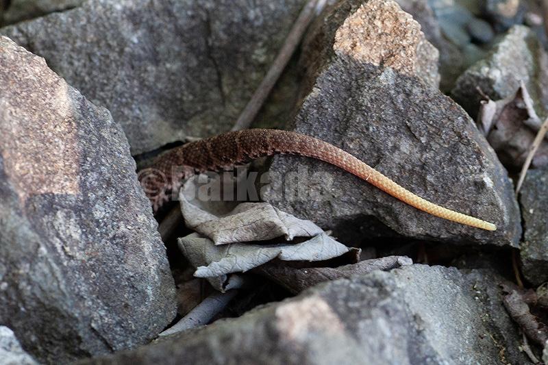 ニホンマムシ幼体の尾